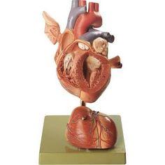 SOMSO 4-Part Human Heart Model