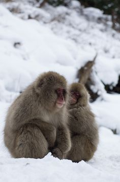 Snow Monkeys at Shimotakai District, Yamanouchi-machi, Nagano Prefecture_ Japan Shiga, Nature Animals, Snow Monkeys, Animal Drawings, Pet Birds, Japanese, Nagano Japan, Hamsters, Board