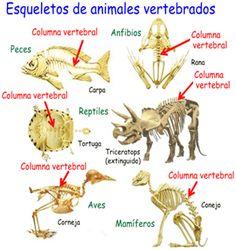 Vertebrados, animales con esqueleto lleno de huesos Science Lessons, Science And Nature, Art Reference, Spanish, Education, Animals, Mayo, Montessori, Google