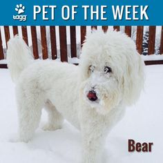 """""""There are very cold nights here so we are thankful for Tagg putting our minds at ease just in case our fur baby escapes in this bitter cold."""" -Stephanie W.   Congrats Bear - and thanks for being a member of the Tagg family!  #taggpetoftheweek"""