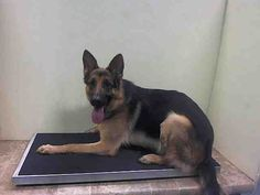 SAFE 6-10-2015 by Tails of Courage --- Brooklyn Center BOOMER – A1038727  MALE, BLACK / BROWN, GERM SHEPHERD MIX, 1 yr OWNER SUR – EVALUATE, NO HOLD Reason PERS PROB Intake condition UNSPECIFIE Intake Date 06/04/2015