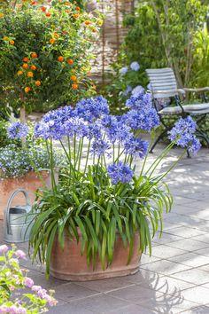 Agapanthus superb in beds Flower Planters, Garden Planters, Garden Art, Garden Paths, Garden Landscaping, Garden Design, Pergola Swing, Pergola Shade, Pergola Kits