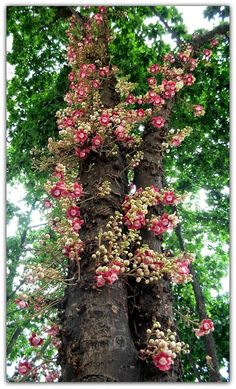 Canon ball tree, Couroupita guianensis (flowers) in Rio de Janeiro, Brazil. In front of the Imperial palace, corner of Rua da Assembleia Exotic Fruit, Exotic Plants, Unusual Plants, Tropical Plants, Trees And Shrubs, Flowering Trees, Trees To Plant, Weird Trees, Unique Trees