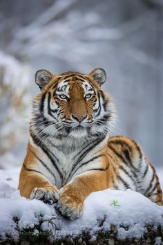 Tiger relaxing in Snow by AndreasKrappweis via http://ift.tt/1T8S7FL
