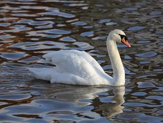 The mute swan (Cygnus olor) is a species of swan, and thus a member of the waterfowl family Anatidae. It is native to much of Europe and Asia, and (as a rare winter visitor) the far north of Africa. It is also an introduced species in North America, Australasia and southern Africa. The name 'mute' derives from it being less vocal than other swan species. The mute swan is found naturally mainly in temperate areas of Europe across western Asia, as far east as the Russian Maritimes, near…