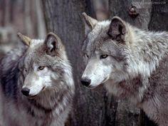 amazing wolf photo - Buscar con Google