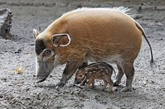 Red River Hoglet & Sow.  I'm stunned by this pair. I never knew about Red River hogs until tonight. Why?