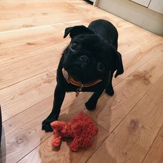 Nala looks like the dog version of my cat! Pugs, Pug Puppies, Animals And Pets, Baby Animals, Cute Animals, Black Pug, Cutest Thing Ever, Pug Love, Thing 1