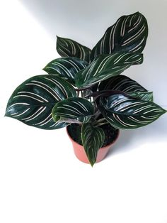 or Calathea ornata, Pinstripe Plant, Prayer Plant, Mini Plant, Terrarium… - Modern House Plants Decor, Plant Decor, Mini Plants, Indoor Plants, Potted Plants, Indoor Gardening, Cactus Plants, Calathea Plant, Terrarium Plants