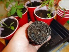 Gardening Jones shares some quick tips for tomato success.
