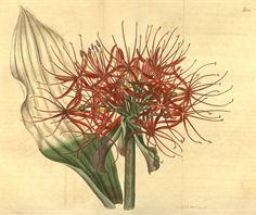 Haemanthus Multiflorus. v.45 (1817-1818) - Curtis's botanical magazine. - Biodiversity Heritage Library