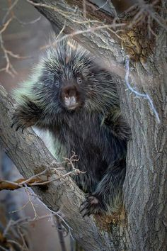 Porcupine-they really are just cute!!