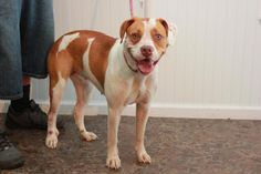 Jill - URGENT - CHRISTIAN COUNTY ANIMAL SHELTER in Hopkinsville, Kentucky - ADOPT OR FOSTER - 1 year old Female Pit Bull Terrier