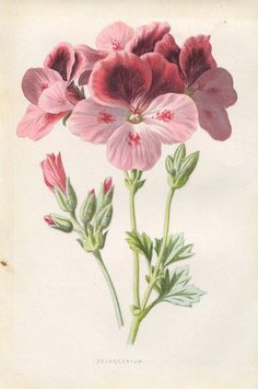 1890 Pelargonium Flower: