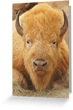Farm Animals, Animals And Pets, Cute Animals, Animal Bufalo, Beautiful Creatures, Animals Beautiful, American Bison, Tier Fotos, Animals Of The World