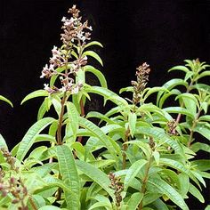 Herbs in Containers – Lemon Verbena for your Edible Landscape Verbena, Herbal Plants, Herbal Teas, Mosquito Repelling Plants, Healing Herbs, Growing Herbs, Potting Soil, Trees And Shrubs, Winter Garden