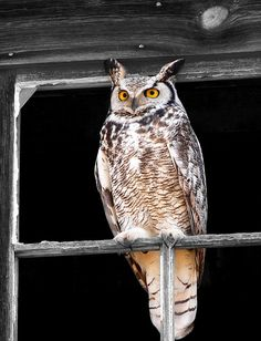 }{       Owl.   I've had a big owl that looked like this one more than once in my trees in the yard.