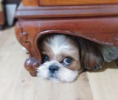 Shih tzu-toto Shih tzu-toto Source by The post Shih tzu-toto appeared first on Brandt Pet Supplies. Chien Shih Tzu, Perro Shih Tzu, Shih Tzu Puppy, Shih Tzus, Cute Puppies, Cute Dogs, Dogs And Puppies, Doggies, Shitzu Puppies