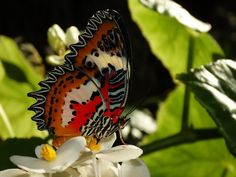 Malay Lacewing (Cethosia hypsea). Florida Museum of Natural History photo by Ryan Fessenden