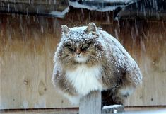 Russian farmer Alla Lebedeva has turned her homestead into a Koshlandia 'Catland' for her majestic Siberian cats (closely related to the famous Norwegian Forest Cat). - photo credit: Alla Lebedeva of Prigorodny, just outside Barnaul, Siberia Siberian Forest Cat, Siberian Cat, Cute Kittens, Cats And Kittens, Cats Meowing, Cats Bus, Crazy Cat Lady, Crazy Cats, Beautiful Cats