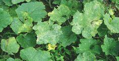 Página 17 - Diagnostico fitosanitario.indd mildiu polvoso
