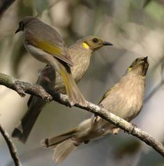 The Fuscous Honeyeater is a small olive-brown honeyeater. Has slightly darker colouring around the eye. It has a small, indistinct yellow ear tuft.  australian native honeyeaters - Google Search