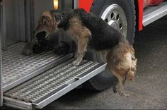 4. Mother dog rescues her puppies to safest place, a fire truck