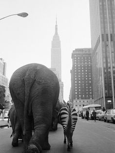 """Circus Animals on 33rd Street.""... A troupe of elephants and a zebra walk down 33rd Street in Manhattan, New York City, heralding the arrival of Ringling Brothers and Barnum & Bailey Circus. April 2nd, 1968. Photo by Otto Bettmann. ☀"