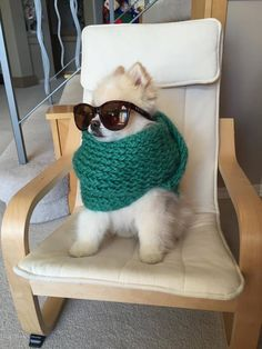 Boo the Pomeranian with scarf & sunglasses
