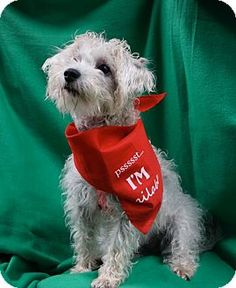 Memphis, TN - Schnauzer (Miniature) Mix. Meet Fiona a Dog for Adoption.