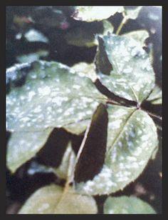 Fainarea la plante - protectie eficienta - Magazinul De Acasa Plant Leaves, Plant