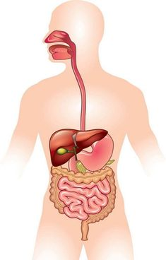 Foods For Digestive Disorders – 15 Digestive Health Recipes You Don't Want To Miss Organic Farming In India, Human Digestive System, Herbal Magic, Human Body, Disorders, The Incredibles, Pure Products, Illustration, Health Benefits