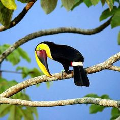 Mr toucan wasn't keen on getting his picture taken but i did anyway