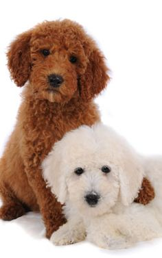 Teddy Bear Goldendoodles- oh I think we need another one. Still really cute even after the puppy stage. Lovable dogs!