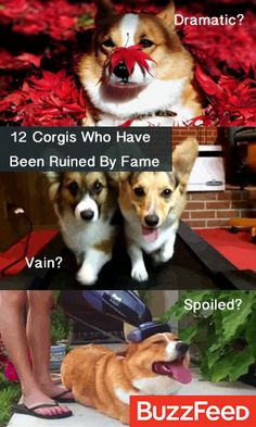 12 Corgis Who Have Been Ruined By Fame