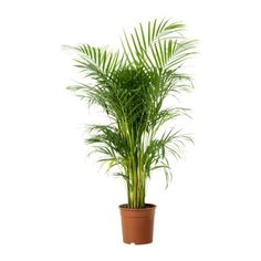 CHRYSALIDOCARPUS LUTESCENS Potted plant, Areca palm $14.99