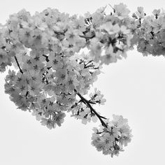 Japanese Weeping Cherry Tree blossoms