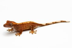 picture of Flame Crested Gecko Sml Correlophus ciliatus