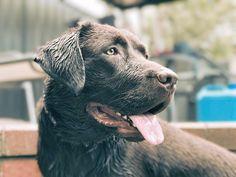 Daisy enjoys water too. #Labrador #dogsofinstagram #dog #summer #sydney #heatwave  via ✨ @padgram ✨(http://dl.padgram.com)