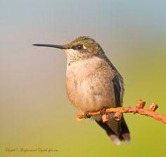 Photo Hummingbird by Elizabeth.  E. on 500px