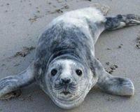 Canada- Stop Killing Grey Seals! http://www.thepetitionsite.com/310/895/510/canada-stop-killing-grey-seals/?cid=Facebook_petition_canada-stop-killing-grey-seals# @SeaShepherd #defendconserveprotect