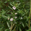 Ajedrea, propiedades medicinales y siembra ecoagricultor.com