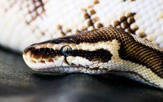 royal ball python by slightgirl