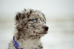 Grey Australian Shepherd || I have a terrible weakness for blue eyed dogs <3
