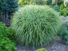 Tall Grasses For Landscaping | ... Garden With Beautiful Ornamental Grasses: Gardening Ornamental Grasses