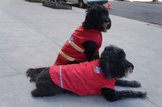 NEW Darrin and  Sabrina looking red hot in their FDNY red coat and FDNY red shirt #royalanimals#dog#coats