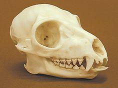 Ringtail Lemur skull (Lemur Catta)