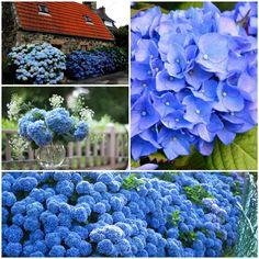 garten mit blauen hortensien