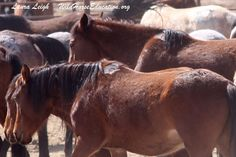 Editorial by Laura Leigh, President of Wild Horse Education (WHE) I am just in from the last round of tracking wild horses and roundups. Ten weeks on the road and all the ups and downs of the emoti...