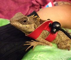 My Horned Mountain Lizard, Hera. Cutie pie, I'll always remember you